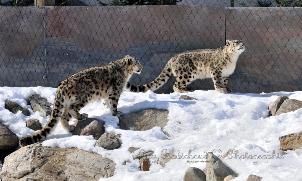 Léopard des Neiges (Zoo Granby) Dsc_3511-1024_FULL