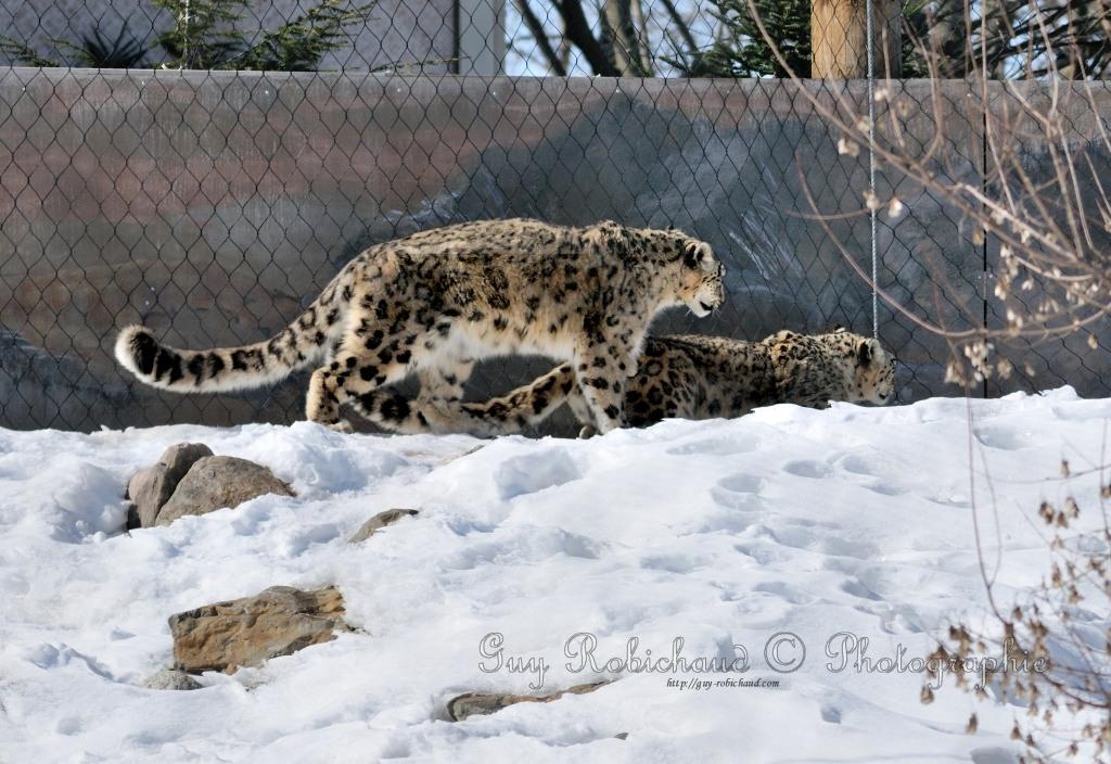 Léopard des Neiges (Zoo Granby) Dsc_3512-1024_FULL